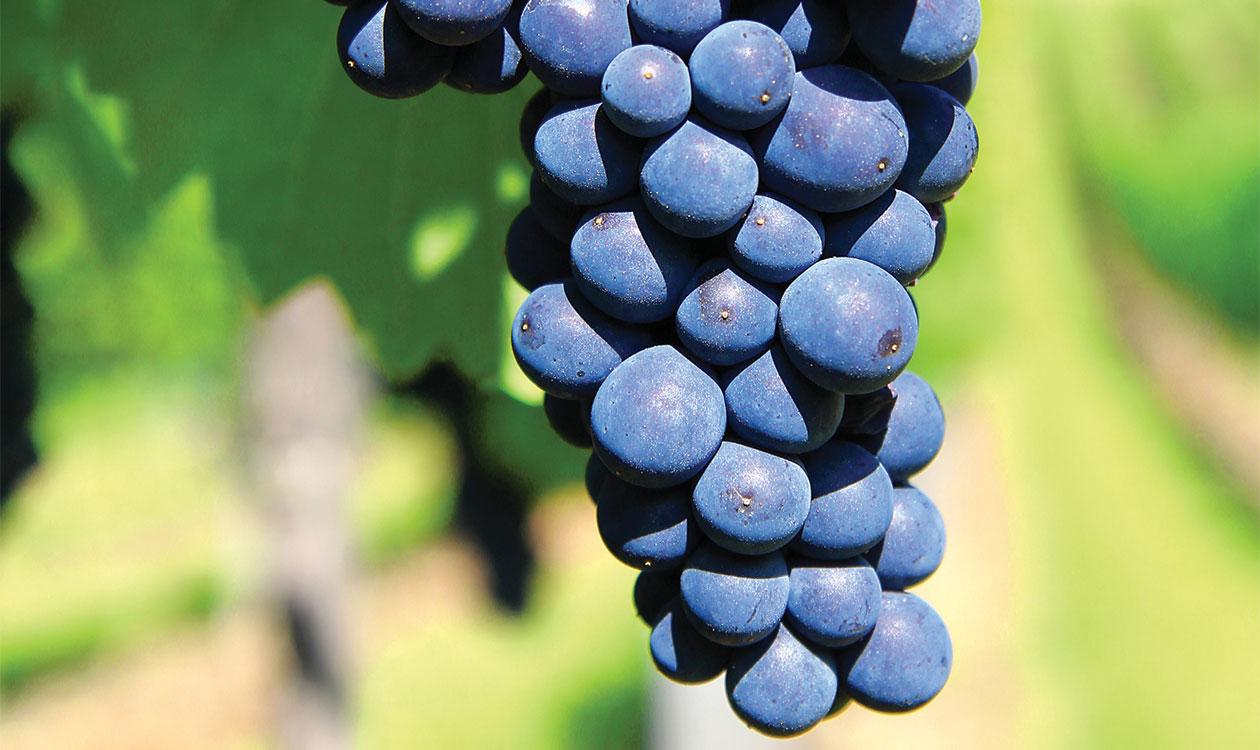 A szőlő és bor városa 4. – A klónok itt vannak
