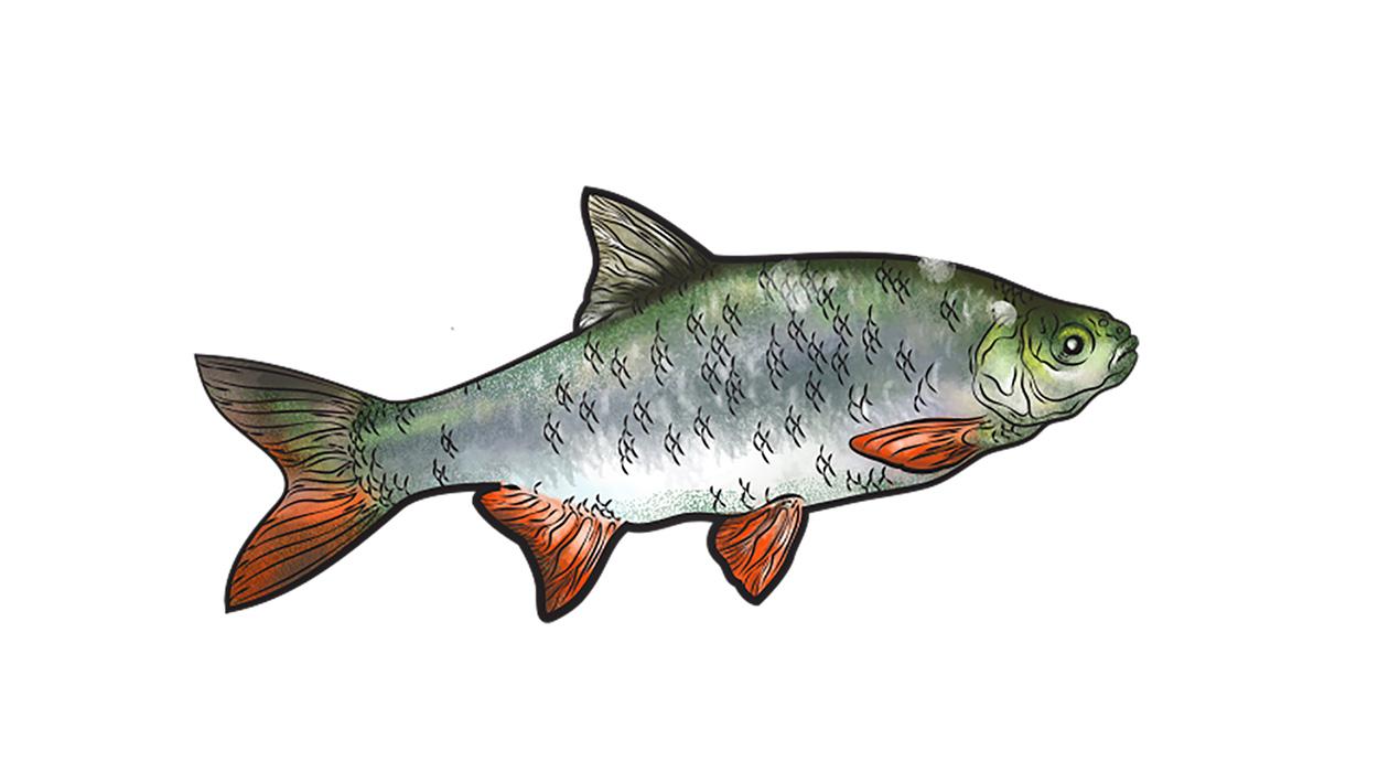 Zöld Pécs - Az év hala: Jászkeszeg