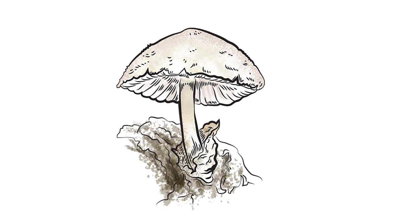 Zöld Pécs - Az év gombája:  Óriás bocskorosgomba